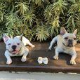 Sthefany Brito é apaixonada pelos bulldogues franceses London e Montalcino